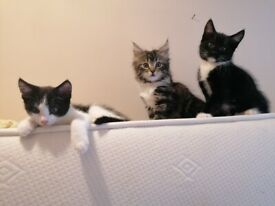 Kittens Maine Coon Mix 2 boys left