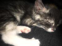 8 week old rag doll x bengal kittens