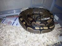 Adult royal python with full set up pet snake