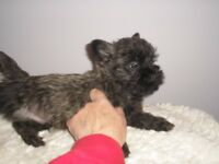 Cairn Terrier Boy Puppy Brindle Pup