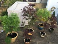 Variety of ACERS in ceramic pots - from £10