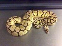 Royal Python - Bumble Belly