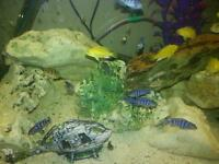 African cichlids for sale. 1 to 1 & a half inch demaisoni and yellow lab for sale