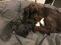 Spaniel pups 3 boys