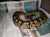 Het Ghost male Royal Python
