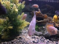 Pink convicts lovely fish