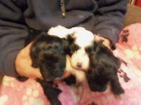 pedigreed toy parti poodles