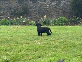 Labrador Black KC reg puppies for sale