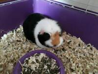 Guinea PIG free together with cage