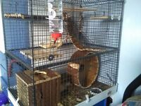 Male Degu and large full cage plus food