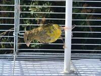 36 Canaries Raza & 16 Portuguese harlequin