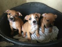 Staffy pups ready to go