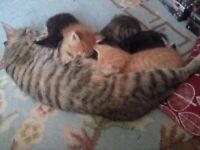 Maine Coone x British Shorthair kittens