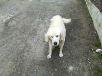 Gold retriever dog