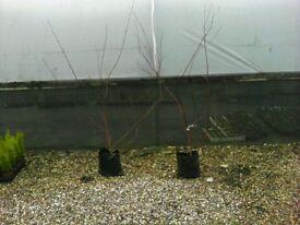 Cornus plants