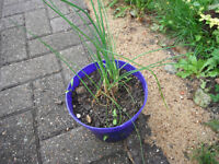 Plants for sale-Chives plants in a 16 cm pot
