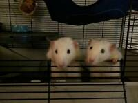 2 male rats need a new home