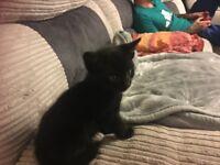 One male kitten 8 weeks old