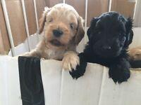 F2 Male Cockapoo puppies for sale