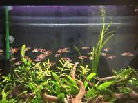 Group of harlequin rasboras tropical fish