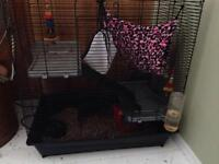Two friendly female rats for sale!