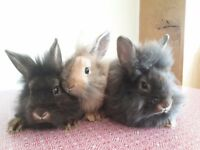 Baby lionhead Rabbits for sale. 3 bucks available. Ready to go now 10wks old, handled from birth.
