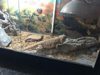 BEARDED DRAGON WITH TANK! £6O OVNO!!!