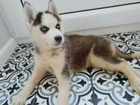 Husky puppies ONLY 1 LEFT!