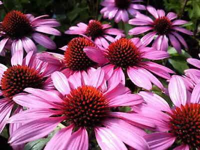 100Pcs Echinacea Purpurea Flower Seeds Viable Medicine Decor Garden Perennial Echinacea Purpurea Echinacea Medicine