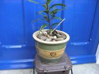 Bay Tree in Decorative Earthenware Pot Weymouth