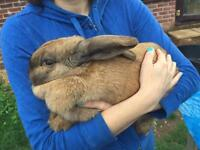Adorable cuddly and extremely loving giant rabbit