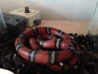 Sinaloan milk snake female