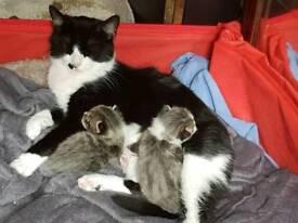 2 grey kittens