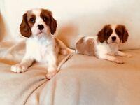 Cavalier King Charles Spaniel puppy's