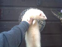 Albino ferret jill plus big hutch with 4 compartments in,,,plz read add
