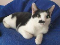 Gorgeous white and black kitten