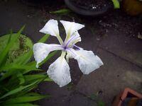 4 x WHITEor blue IRIS (Iris laevigata) LIVE Water Plant Aquatic Pond Marginal