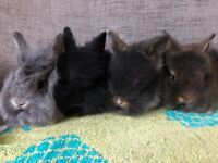 Beautiful baby Lionhead rabbits