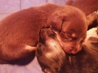 9 strong and healthy Australian Kelpie puppies