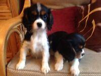 King Charles cavalier puppies girls