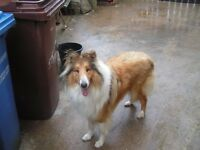 Dog for sale Rough Collie