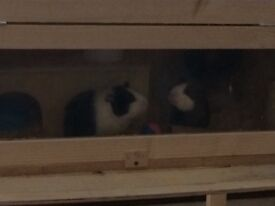 Two young guinea pigs And hutch