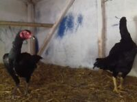 Pair of Japanese hens for sale