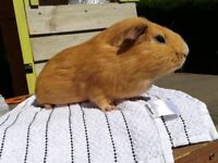 Guinea pigs 10 pound each