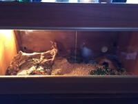Bearded Dragons and full set up - 4ft Vivarium Heat/UV lamp and accessories
