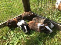 Baby guinea pigs ready to go now 4 boys 1 girl
