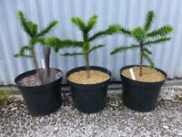 Monkey Puzzle Tree from £28