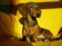 Miniature Małe dachshund puppy for sale