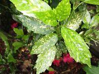 Variegated laurel shrub bush
