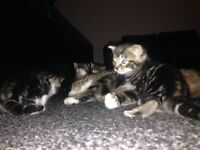 Lovely tabby kittens looking for good caring homes